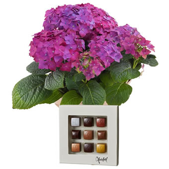 Hydrangea and chocolate