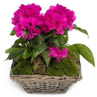 Blossoming Bougainvillea