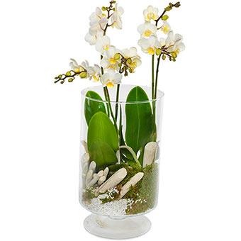 Stilig orkidé