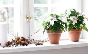Vita julstjärnor i fönster