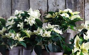 Hvite julestjerner foran vegg