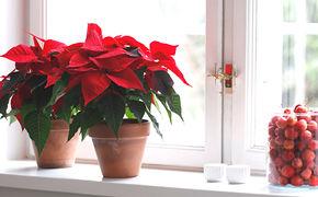 Røde julestjerner i vindu