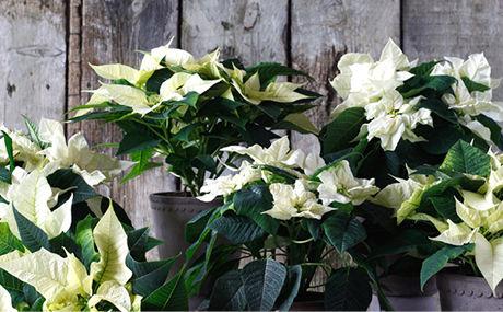 Blomster reducerer stress