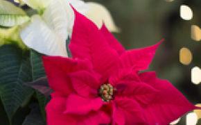 Close up rød julestjerne